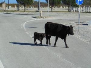 Kuh und Kalb 1