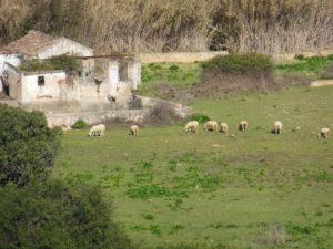 Schafe - 1